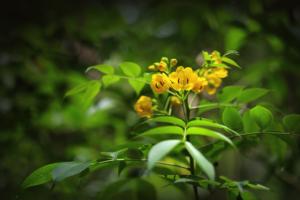 Laxantien Sennapflanze